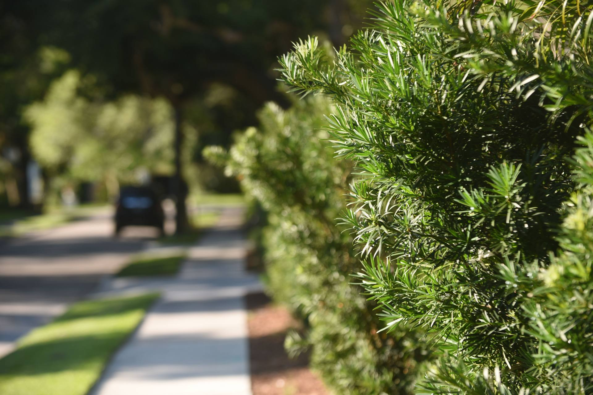 Podocarpus Hedge Michael A Gilkey Inc