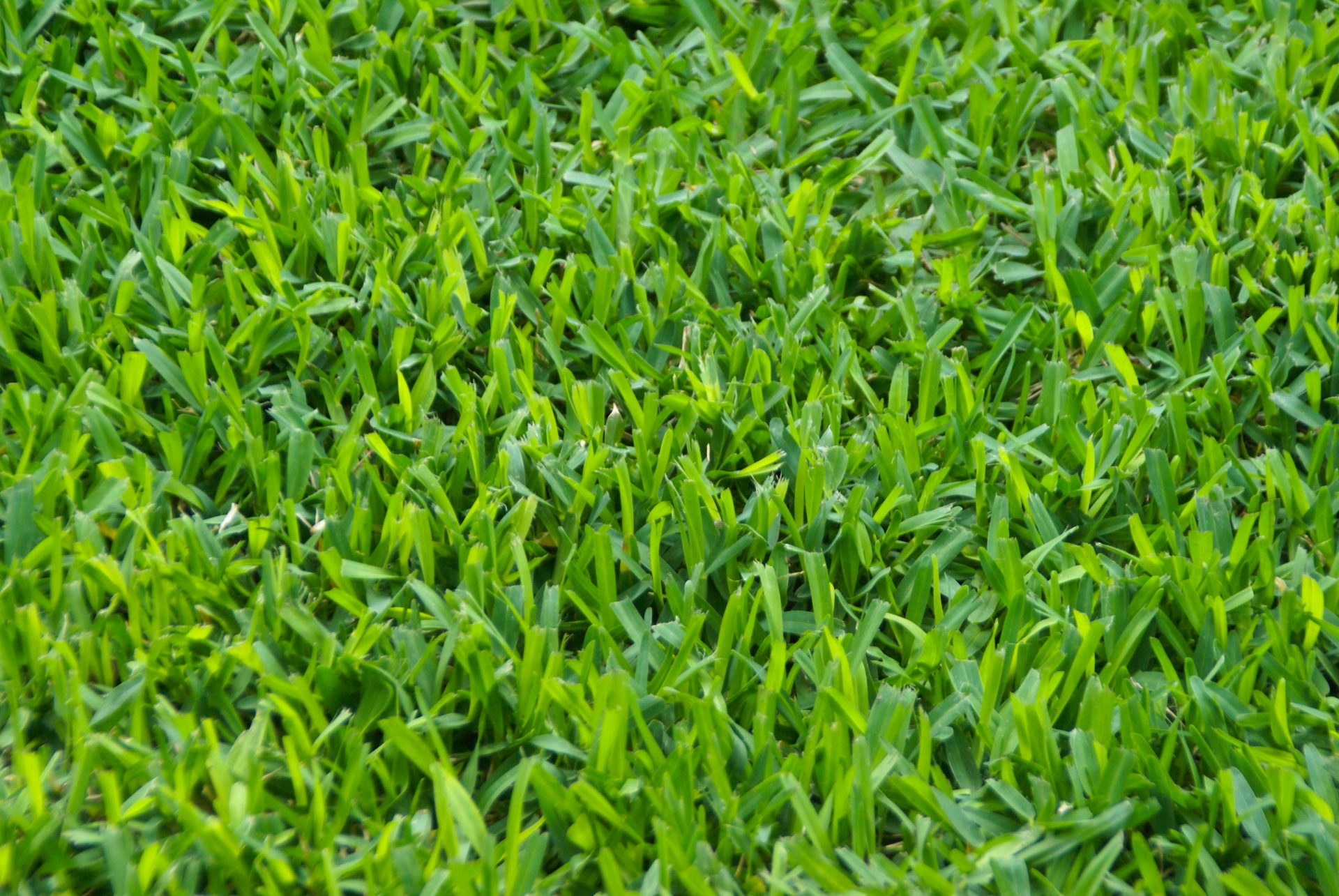 St  Augustine Grass (Stenotaphrum secundatum) - Michael A