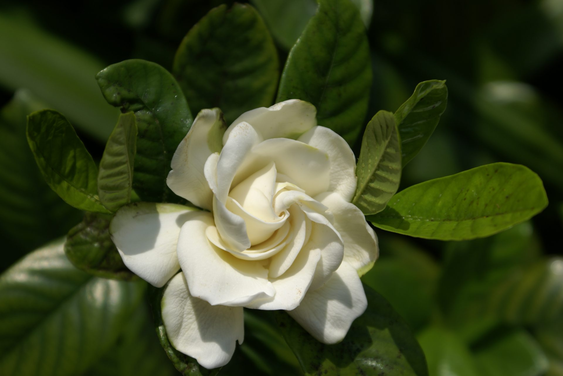 Genial There Are Few Plants More Deliciously Fragrant Than The Gardenia. We Are  Fond Of Using These Shrubs And Small Accent Trees, With Their Large, White,  ...