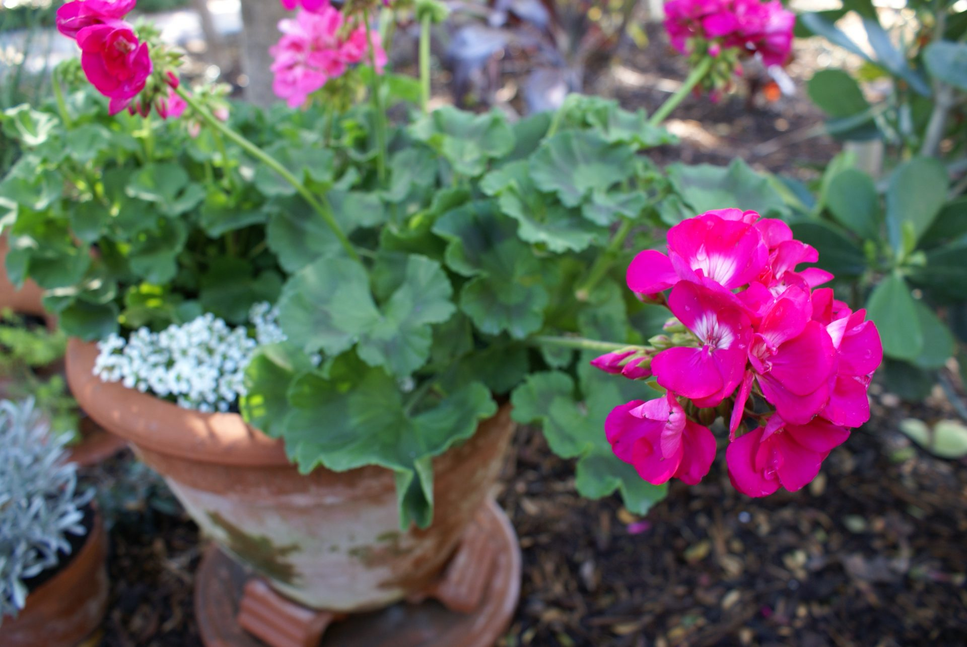 Geranium pink pelargonium spp michael a gilkey inc the geranium is one of our favorite annual flowers in cooler months the bright red and pink pops of color contrast splendidly with many other landscape izmirmasajfo