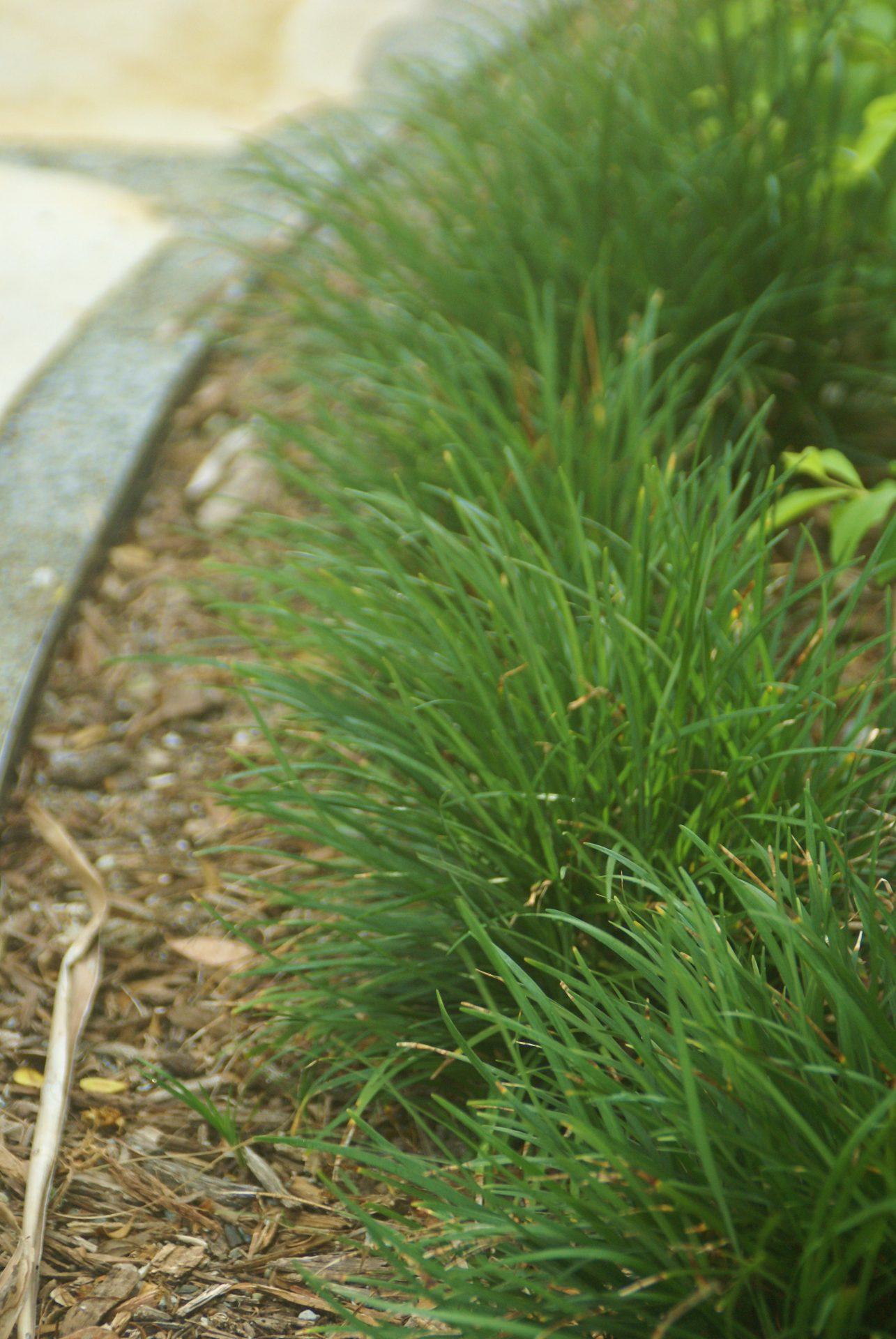 Mondo Grass Ophiopogon Spp Michael A Gilkey Inc